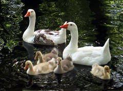 Family Outing (A Great Capture) Tags: park trees baby white lake toronto ontario canada reflection beach nature birds animal animals yellow swimming geese pond babies waves ashley ad ducks floating goose ripples lakeontario crested anser centreville chen centreisland on torontoislands naturel farenoughfarm chencaerulescens whitegoose ald canadianphotographer whitegeese scoopt 10faves torontophotographer july2007 beautifulcapture ash2276 ash2275 ashleyduffus canadianphotogpraher ashleysphotography ©ald ashleysphotographycom ashleysphotoscom ashleylduffus wwwashleysphotoscom