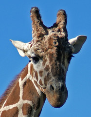 Reticulated Giraffe (shesnuckinfuts) Tags: summer animal fun mammal zoo giraffe washingtonstate animalplanet woodlandparkzoo seattlewa giraffacamelopardalis reticulatedgiraffe experiencewa specanimal feedingthegiraffes mywinners august2007 shesnuckinfuts jalalspagesanimalkingdomalbum