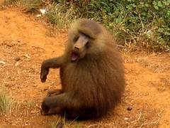 Enfado (Laureano Moreno) Tags: parque naturaleza zoo monkey mono sitting earth ground soil sit angry land dust cantabria sittin dirrty cabrceno