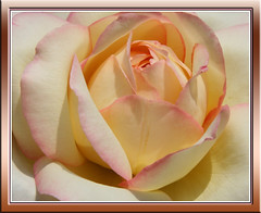 Fresh rose to all my friend (Lyubov) Tags: pink flowers roses summer flower macro nature rose garden ilovenature naturesfinest thebiggestgroup mywinners impressedbeauty superaplus aplusphoto irresistiblebeauty diamondclassphotographer flickrdiamond citritgroup betterthangood