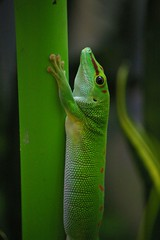 Green Anole (Alberto246) Tags: chicago niceshot sheddaquarium 10faves k100d aplusphoto smcpda50200mmf456ed colourartaward