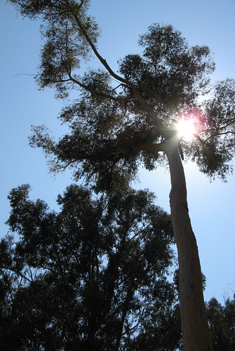 Eucalyptus ...