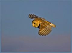 Barn Owl. (anthonynixon17) Tags: warwickshire barnowl sigma50500 brandonmarsh olympuse510