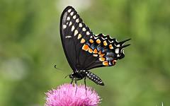 Black Swallowtail (DrPhotoMoto) Tags: blue red orange butterfly thistle northcarolina pupil picnik swallowtail blackswallowtail richmondcounty papiliopolyxenes eyespot