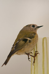 Un roitelet dans mon salon... (tryphon4) Tags: bird pentax sigma 70200 oiseau k7 roitelet passereau