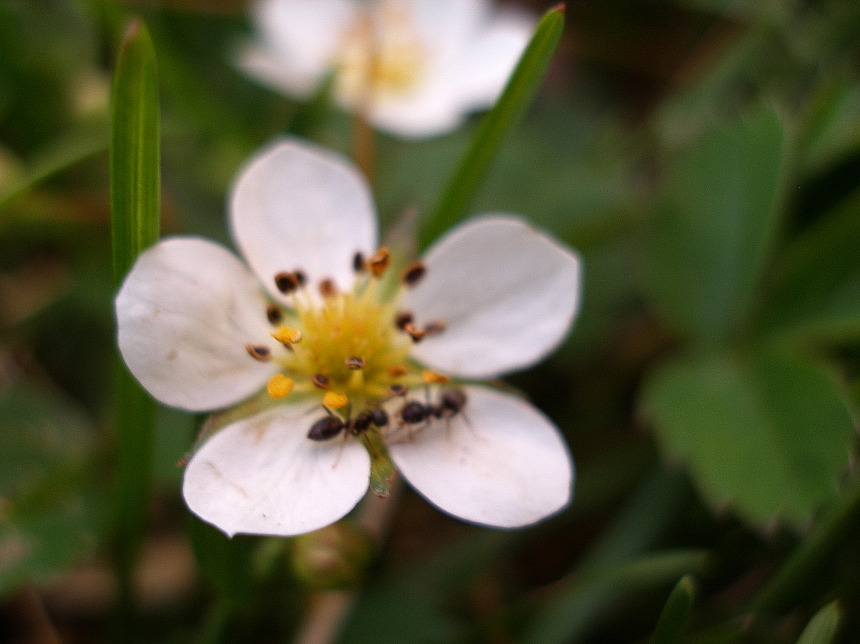 cinquefoil encounter