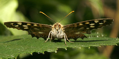 Pre-flight Checks (Ian Hayhurst) Tags: macro butterfly insect speckledwood spotmeter canonef100mmf28macrousm incrediblenature