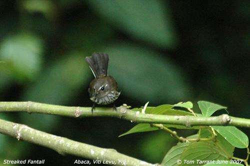 Streaked Fantail (Rhipidura spilodera)
