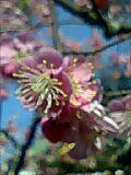 an ume blossom (TakuMa Y.) Tags:   anumeblossom kitanotenmanguu
