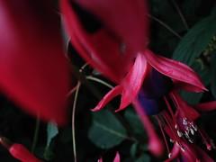 venetian red dance (tsukiyo.kisu) Tags: red flower fleur garden seatle flickrdiamond flowererotica colourartaward colorartaward