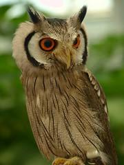 [フリー画像] [動物写真] [鳥類] [猛禽類] [梟/フクロウ] [アフリカオオコノハズク]      [フリー素材]