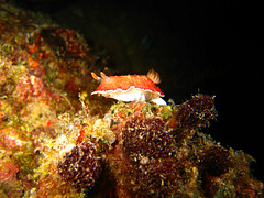 Nudibranch standing on its hind legs