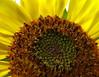 Sunned Flower (shutterBRI) Tags: travel summer flower macro nature canon photography living photo kentucky july powershot sunflower 2007 slaughters a630 naturesfinest shutterbri brianutesch flickrchallengegroup flickrchallengewinner brianuteschphotography