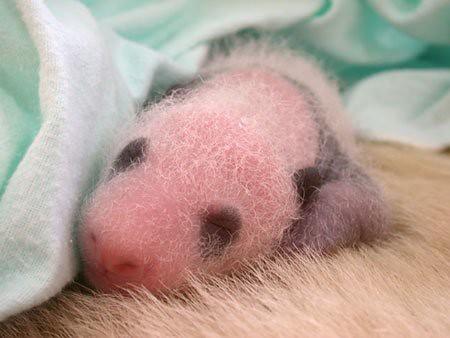 862968964 2884230f12 Newly Born Pandas
