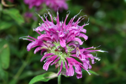 Bee Balm Monardo aquarius