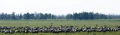 Wild Koniks, Oostvaardersplassen (Flevoland), The Netherlands. (Astrid van Wesenbeeck photography) Tags: horses nature netherlands wildlife naturereserve wildhorses flevoland oostvaardersplassen konikhorses konikpaarden wildepaarden
