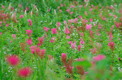 alpine flora -1 (joka2000) Tags: flower japan flora alpine bog diamondclassphotographer flickrdiamond yashimagahara
