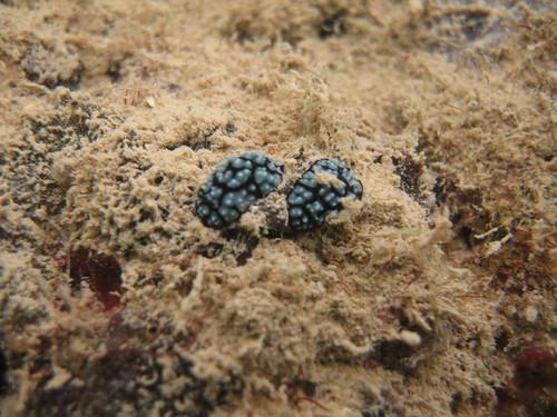 2 Phyllidia sea slugs