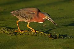 Green Heron Splash (Let there be light (A.J. McCullough)) Tags: birds brazosbend greenheron supershot fowlfeatheredfriends unature unaturefav bfgreatesthits