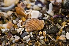 Biodiversity (tr1stero) Tags: macro beach closeup seashells sigma australia seashell australien 2007 105mm capeconran ipernity tr1stero