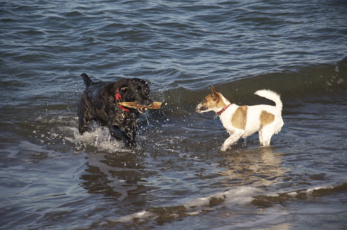 Try to convince Labradors that their job is to fetch things that are too far out in the Bay for you to swim to.