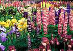 WILD COLOURFUL,, MIXED GARDEN FLOWERS (forpawsgrooming) Tags: flowers garden lupin colourfull