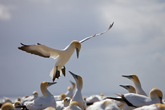 gannet landing (s.v.e.n.) Tags: new island bay north zealand cape colony gannet hawke kidnappers