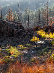 emerging color (rowjimmy76) Tags: california trees mountains nature ecology canon landscape outdoors fire rocks hiking exploring hills burnt geography geology burned sierraclub hps charred g11 sequoianationalforest kerncounty southernsierra hundredpeakssection claraville piutelookout