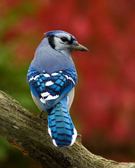 Blue Jay (Phil Armishaw) Tags: blue wild ontario canada birds backyard jay caledonia