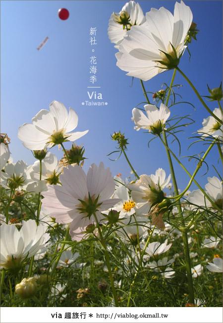 【2010新社花海】via帶大家欣賞全台最美的花海!27