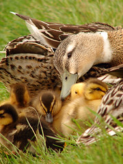 A Mother's Love (Curtis StJohns) Tags: family love birds duck mother ducklings waterfowl mothersday