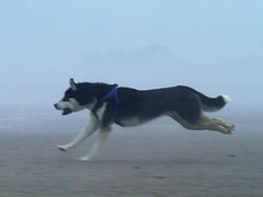 Running with the Wolf (Trojan_Llama) Tags: beach husky norfolk holme runningdog