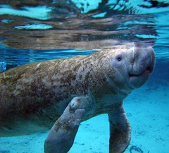 Save the Manatee's! 527186531_a7b0361549_m