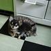 チワワ:cat-seat.jpg