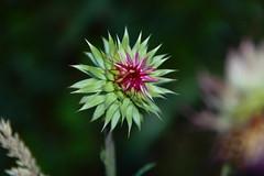 Starburst Thistle - by capn madd matt