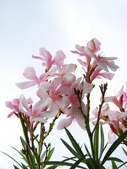 Flowers In the Sky (K. Shreesh) Tags: flowers india oleander nashik naturesfinest blueribbonwinner sonydsch1 supershot flickrsbest anawesomeshot impressedbeauty diamondclassphotographer flickrdiamond citrit theunforgetablepictures