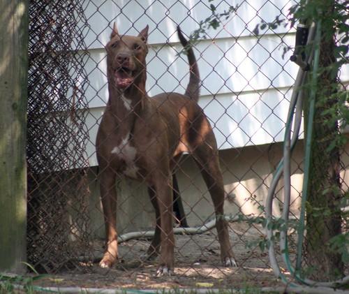 Mix Breed Dog Photos – All Mutt » Mastiff Great Dane Bulldog Mix ...