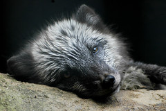 Arctic Fox (summer coat)