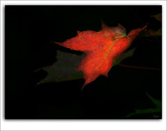 Timid (LeFon) Tags: red canada nature rouge leaf quebec feuille flickrsbest lefion mywinner infinestyle excellentphotographerawards hourofthediamondlight timidly timidement