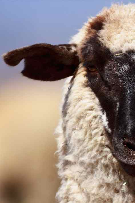 050710_sheep2_upload