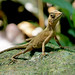 Sri Lanka Kangaroo Lizard (Otocryptis weigmanni)