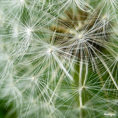 Dandelion Seed Head - Pissenlit en fleurs (monteregina) Tags: flowers plants white canada abstract macro texture nature closeup fleurs design spring weeds pattern natural geometry details natur blossoms shapes puff center fluff dandelion seeds sparkle textures seedhead qubec wildflowers abstraction pollen plantae puffy blanc printemps frhling abstractions flowerhead pissenlit nuisance abstrait samen taraxacum makeawish dientedelen lwenzahn pusteblume dentdelion parachutes fleurssauvages formes blmen dandelionseedhead aknes semences fillframe taraxacumofficinalis aigrettes monteregina astraces composes parachuteball dandelionstars