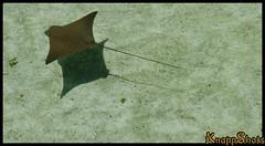 baby ray (Joey Newcombe) Tags: cruise ray stingray babystingray theurbansniper joeynewcombe
