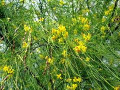 Retama (dog.happy.art) Tags: statepark plant tree yellow texas native wildflowers wildflower legume blooming riograndevalley retama parkinsonia parkinsoniaaculeata resacadelapalma