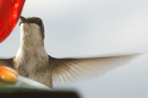 Ruby-throated hummingbird (1)