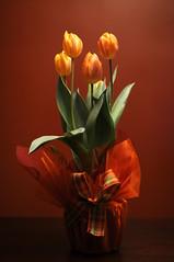 Reaching (Hound of Culann) Tags: flowers orange tulips bow flickrchallengegroup flickrchallengewinner