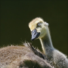 Hush, Go Back to Sleep Little One (The Nature Nook) Tags: newhampshire gosling canadagoose questfortherest abigfave