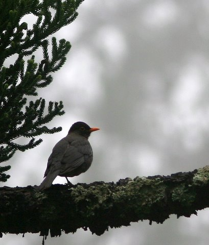 Eurasian Blackbird nandi hills 19jun07