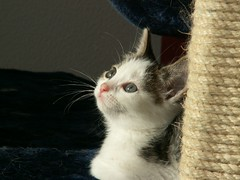 Kaylee watching outside (Mandy Verburg) Tags: pet animal female cat kitten kat feline pussy kitty ek huisdier dier pussycat poes kaylee katachtige cyper thebiggestgroup cc100 mandyarjan pet100 thebiggestgroupwithonlycats
