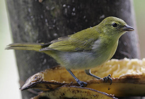 Guira Tanager, female